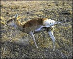 Russia: Save The Gazelles!