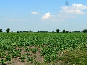 A Field of Sugar Beet.