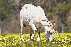A domestic goat feeding in a field of capeweed...