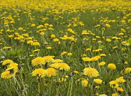 Bridgestone is planning to derive rubber from Russian dandelions to produce tires…