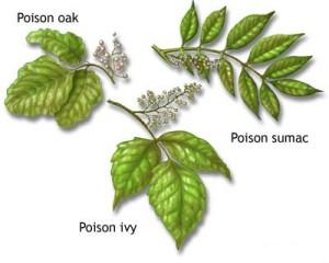 Poison_Ivy_Oak_Sumac