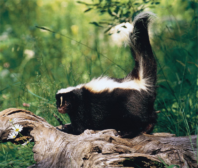 Skunk in Russia? Where?