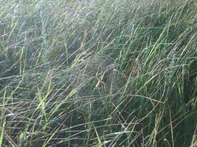 At Sunrise: spiderwebs by the millions…