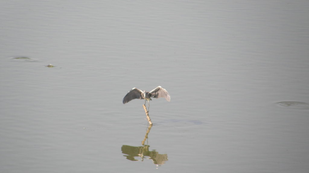 I finally (almost) caught a heron landing…