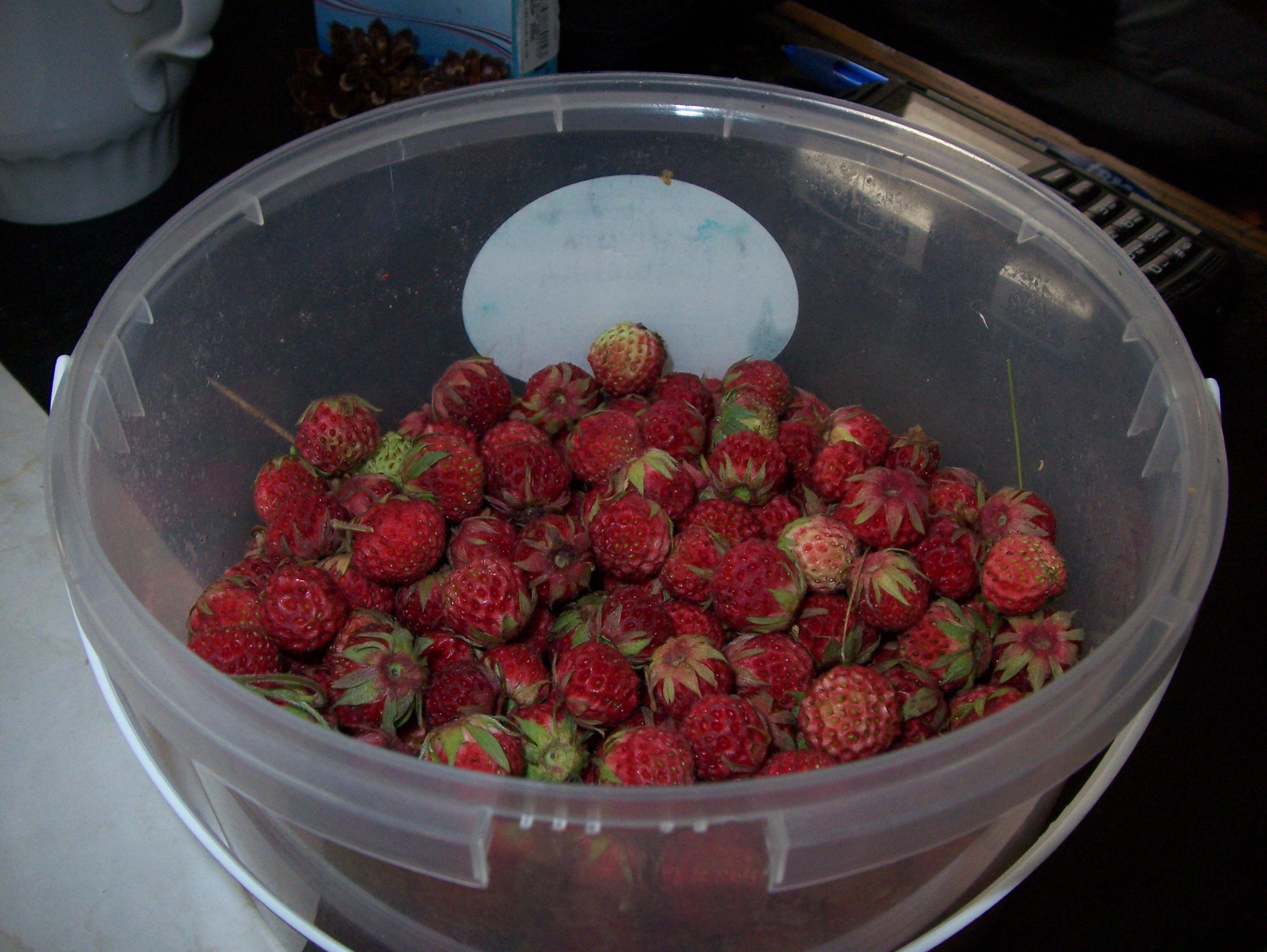 Drying Wild Strawberries…