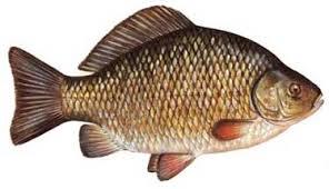 A small carp at the Russian Fish Farm?