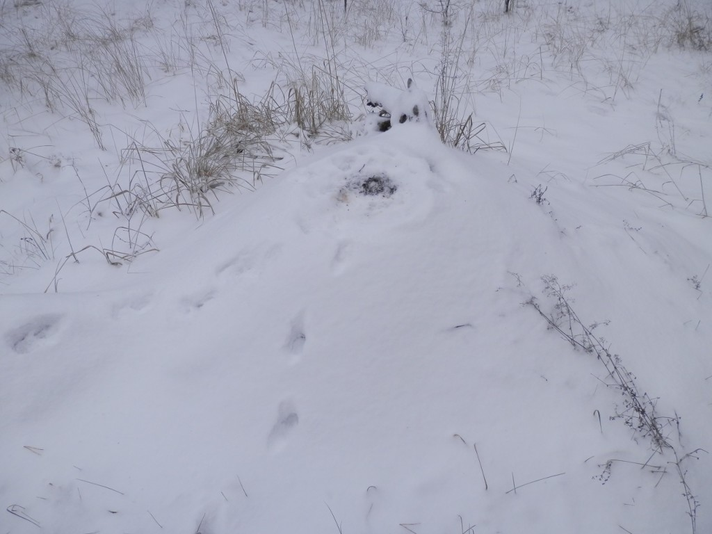We scared a fox up here sleeping! See the tracks up and down?