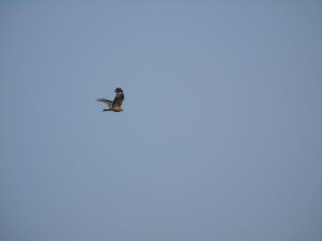 Not sure eagle or hawk!
