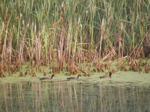 Three young Coots in a row!