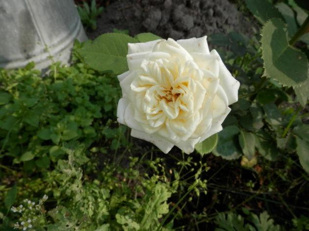 New rose bloom!